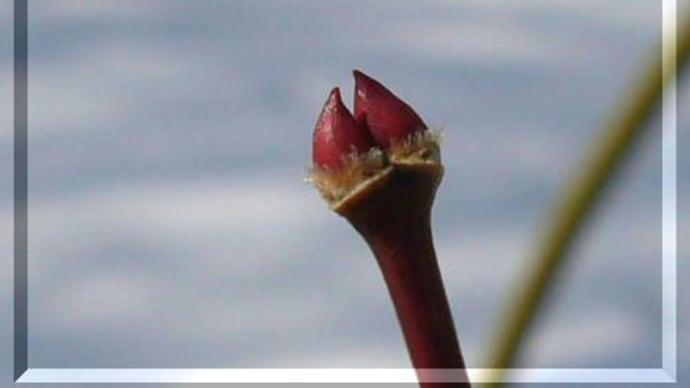 「赤い芽」 三点