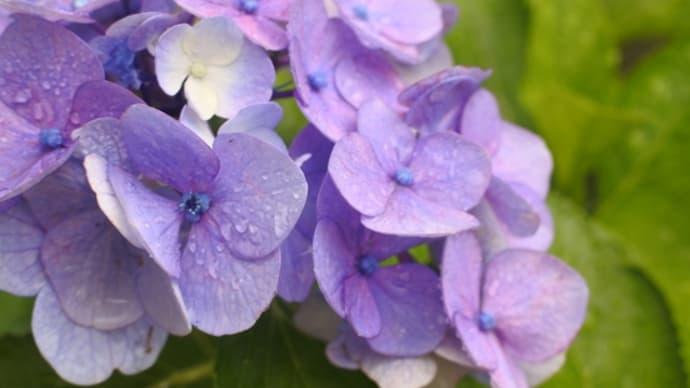 雨と紫陽花とスツール