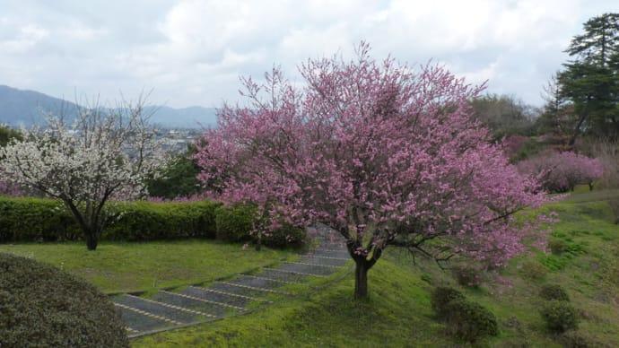 斐川公園の梅の花
