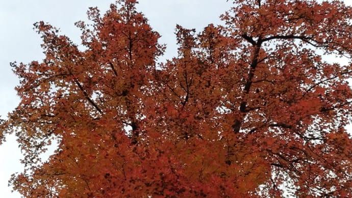 楓の紅葉も見納めか?