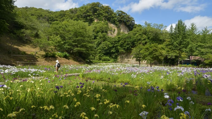 ◆花菖蒲を「クオードの森」で(市原市)