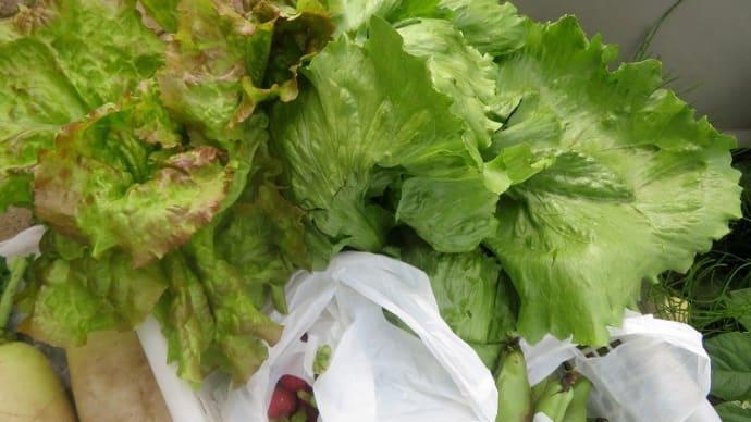 今日は苗植えと収穫を・・・初収穫 胡瓜とレタスとサニーレタス