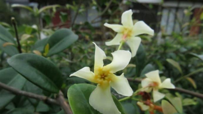 Asian jasmine