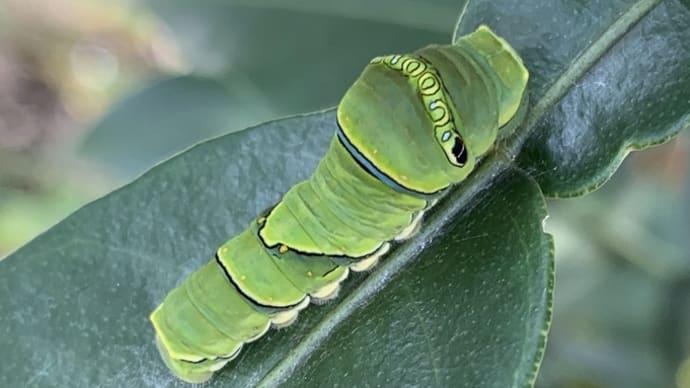 今日の1枚を投稿しよう;アゲハの幼虫