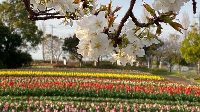 花・チューリップと桜と虹