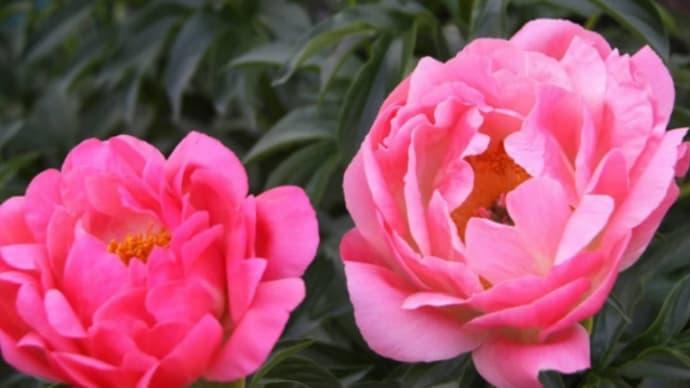 今年の春・庭に咲いた花*花*花