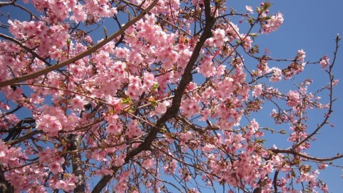河津桜が 見頃です ☆ お花見♪ (ランチ)