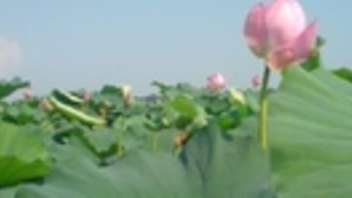 伊豆沼 蓮の華