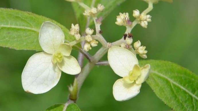 ヤマアジサイの花(8)「白妙」