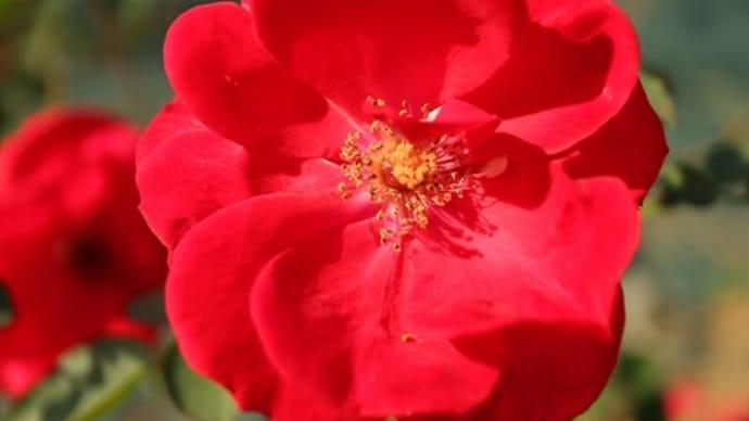 半八重のシンプルな赤バラ「サラバンド」(秋バラ・シリーズ20-083)