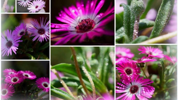 ●我が家の5月の花(6) リビングストーンデージ