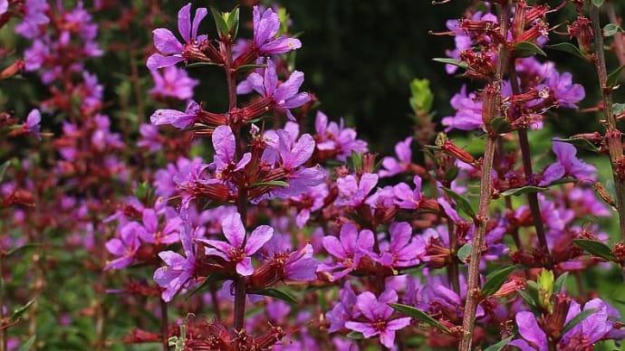 ミソハギ - 短花柱花、長花柱花