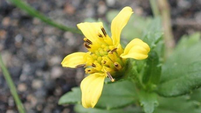 伊豆諸島&奥多摩ゾーンの花を~神代植物公園・植物多様性センター~