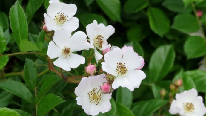 小さくてかわいい白い花のバラ <お花で一休み(14)>