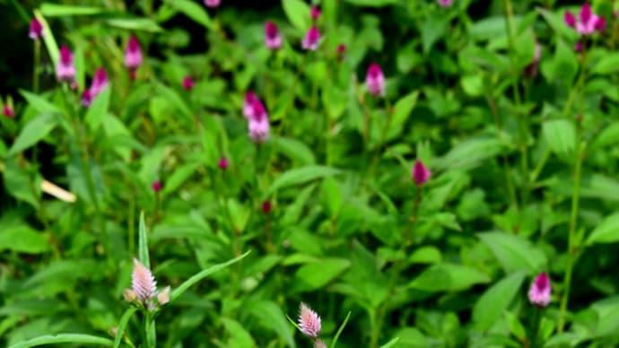花シリーズ・野鶏頭キャンドル