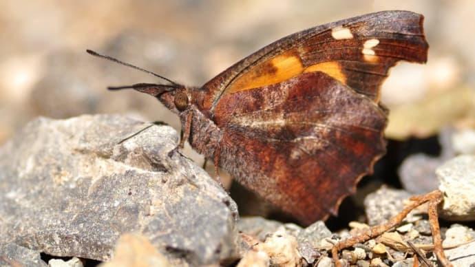 新潟の野蝶 テングチョウ