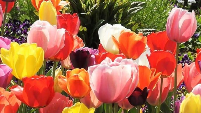 チューリップの咲くお花畑