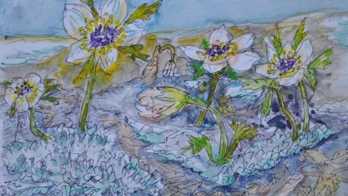 シモバシラの中で咲く節分草 絵   11