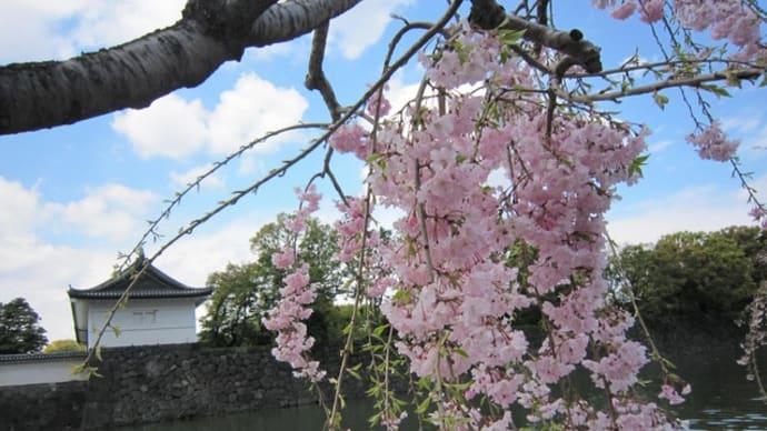 平成の桜🌸過ぎゆく春…皇居・乾通り