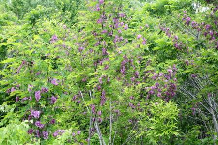 アカシア の 花
