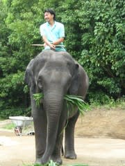 象 の 妊娠 期間