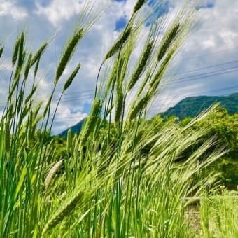 古代小麦の麦刈り