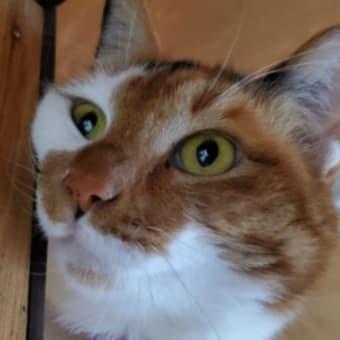 【231】れいにゃん堂のれいちゃん・おもちゃが欲しいにゃ&猫グッズ紹介😸