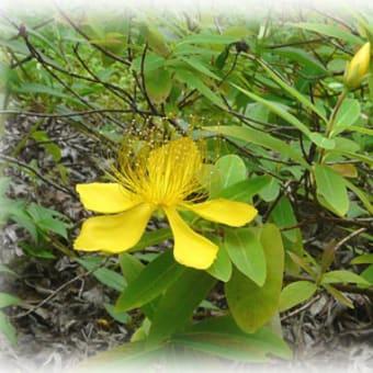 今年もトモエソウが花を咲き継いでいます