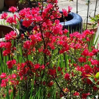 庭のツツジ(1)