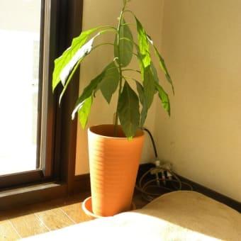 【アボカド】植え替え 素焼きの鉢