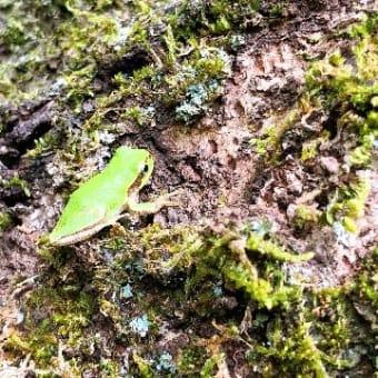 小さいカエル発見!