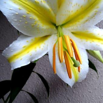 ヤマユリ開花♪