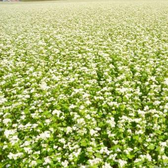 信州蕎麦畑、白く輝く。