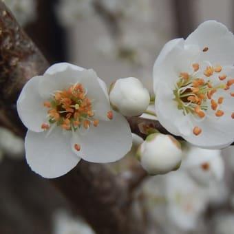 プルーン(セイヨウスモモ)の花