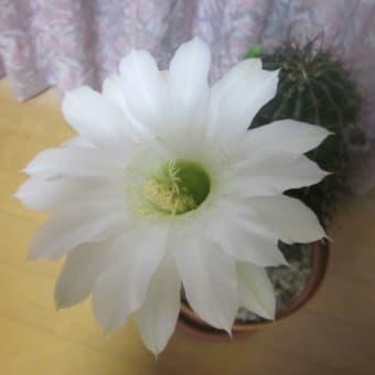 今年最後のサボテンの開花