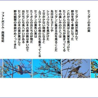 センダンの木の実