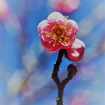 梅林の「浮牡丹」~武蔵丘陵森林公園~