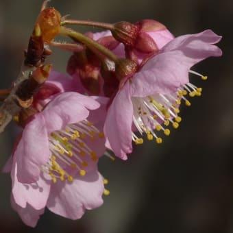 サクラ ツバキカンザクラ(椿寒桜)