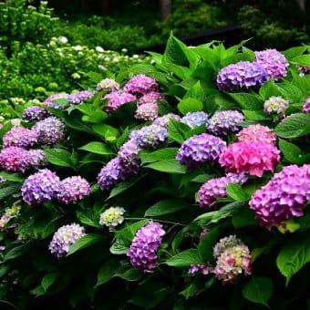 そろそろ紫陽花が・・・
