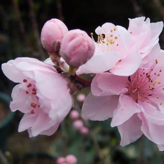 庭の様子 4月(ハナモモ・クレマチス)