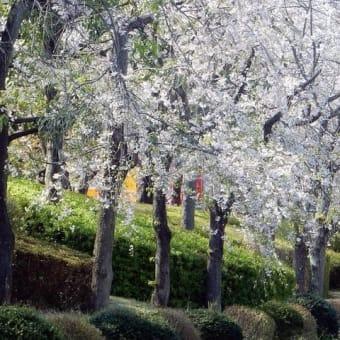 枝垂れ桜 終焉