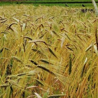 古代小麦の麦刈りを始めます。