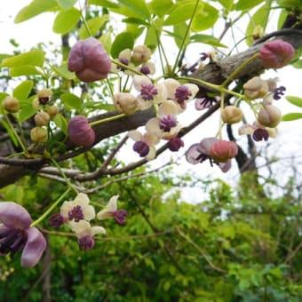 アケビの花とカワセミ。 (4/10*金)