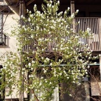 桜より一足先に春を告げる。