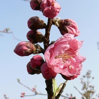 桃のつぼみ可愛く