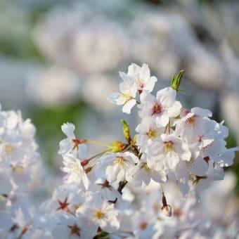 ●兼六園 満開の桜 ソメイヨシノ