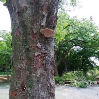 ケヤキの樹
