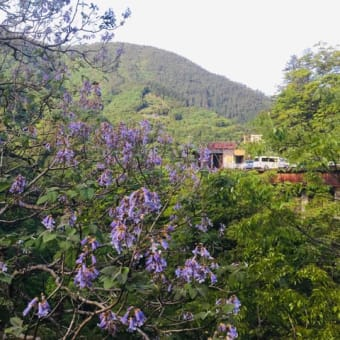 箱根自然薯の森 山薬の近くに咲く素敵な「桐の花」を発見♪