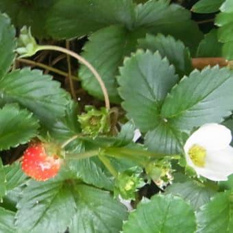 2020年9月のイチゴ:9/8、9/11 花が咲く、9/23 収穫