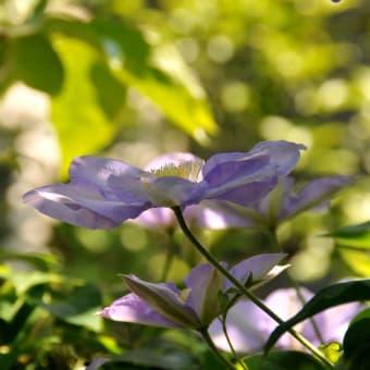 <初夏の花>  クレマチス